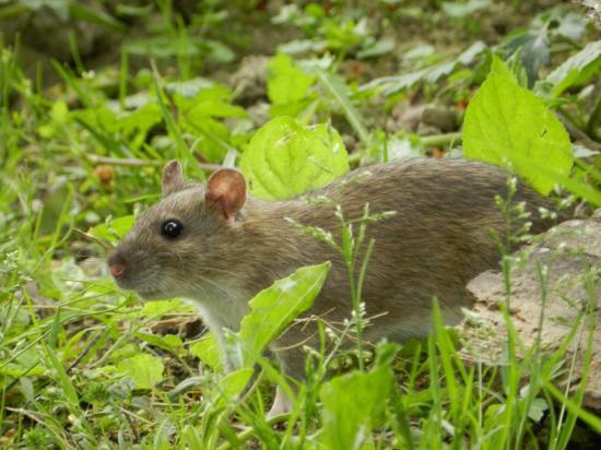 rat-brun17.jpg