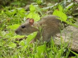 rat-brun19.jpg