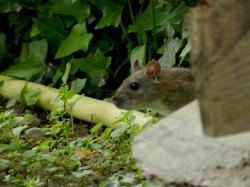 rat-brun2.jpg