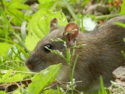 rat-brun20.jpg