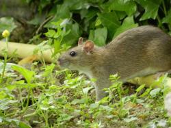 rat-brun3.jpg