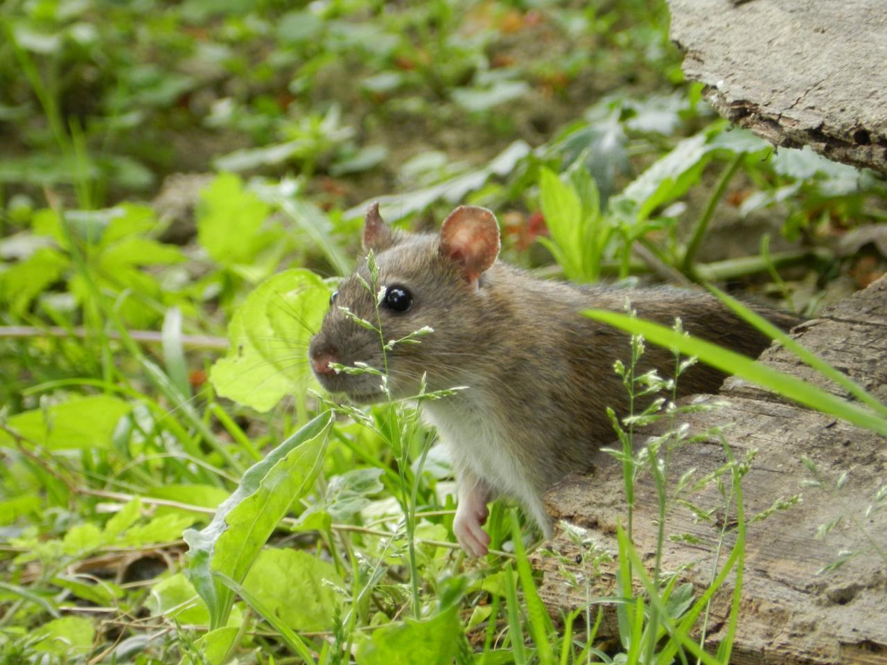 surmulot ou rat des champs