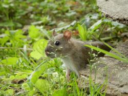 rat-brun7.jpg