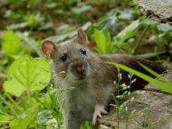 rat-brun9.jpg