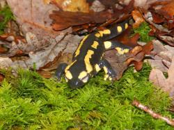 salamandre3.jpg
